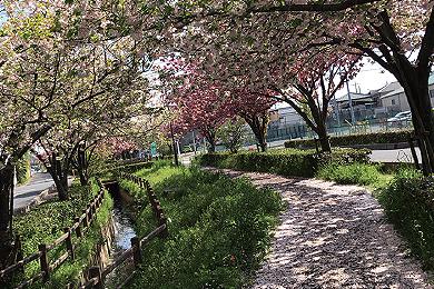「桜の絨毯」遠藤 駿介 さん